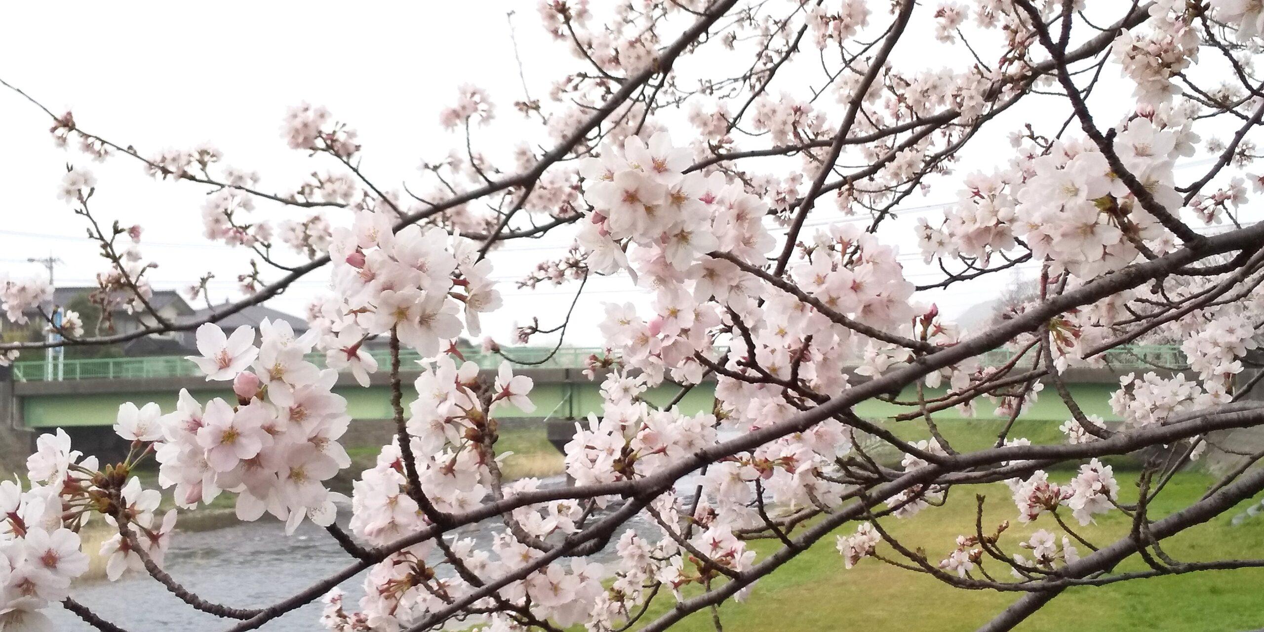 浅野川の桜